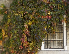 Vine on Window